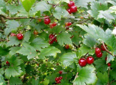 Alpine currants