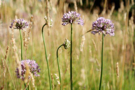 Canadian meadow garlic