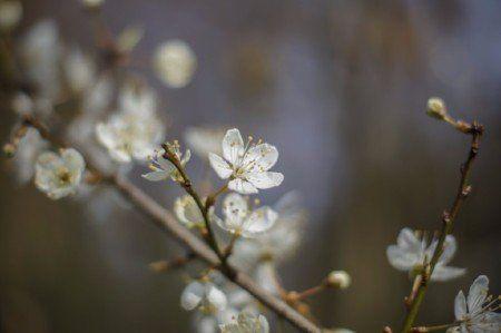 Myrobalan blossom