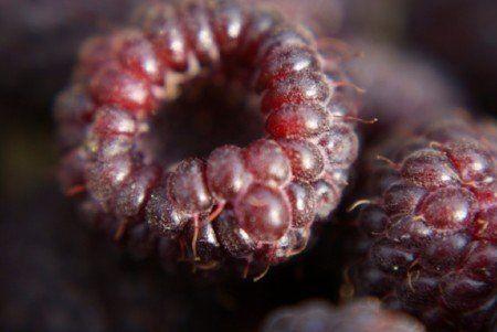 Blackcap (Rubus leucodermis)