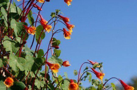 Mashua flowers