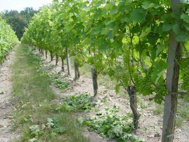 effeuillage a la vigne