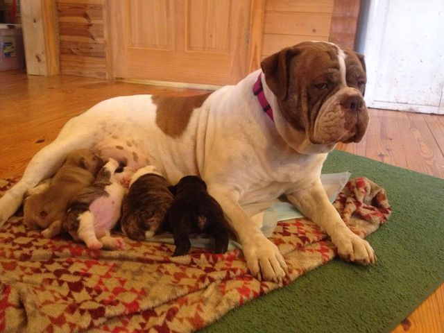 Bulldogges