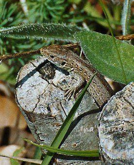Die Zauneidechse Lacerta Agilis