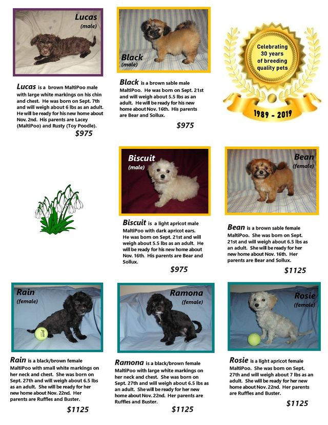 Maltipoo Akc Toy Poodle Maltese Puppies For Sale