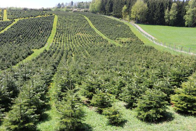 was kostet ein tannenbaum 2019 weihnachten in europa