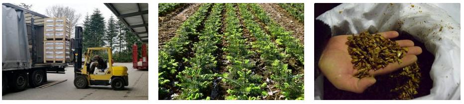 Pflanzen für erfolgreiche Weihnachtsbaum- und Schnittgrünkulturen: Baumschule Engler - europaweit