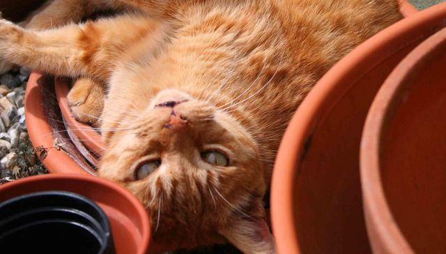 Yowler who was the inspiration forTreloar's ginger cat Messi photo by L A Kent Cornish author of Inspector Treloar Mysteries