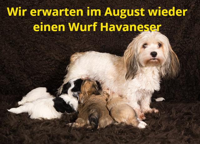Altdeutsche Schaferhunde Und Havaneser Von Zwinger Marnad