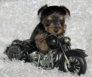 Teacup Yorkie Puppies And Chihuahua Puppies Michigan By Sissy Js