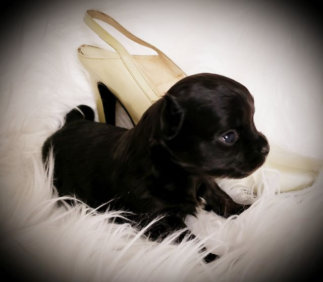 Teacup Yorkie Puppies Chihuahua Puppies For Sale Sissy Js Poochies