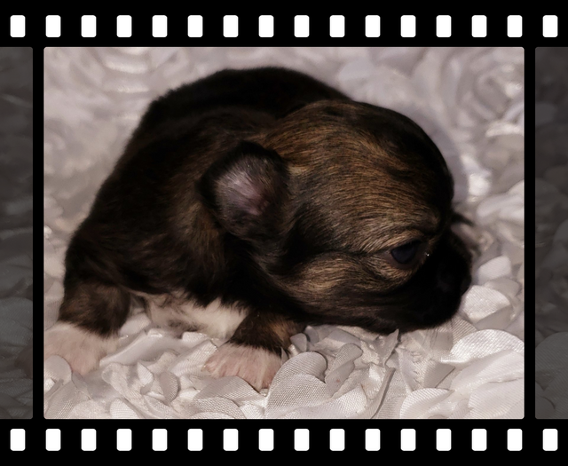 Teacup Yorkie Puppies Chihuahua Puppies for Sale | Sissy J's