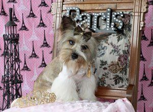 Upcoming Yorkie And Chihuahua Puppies For Sale Sissy Js Poochies