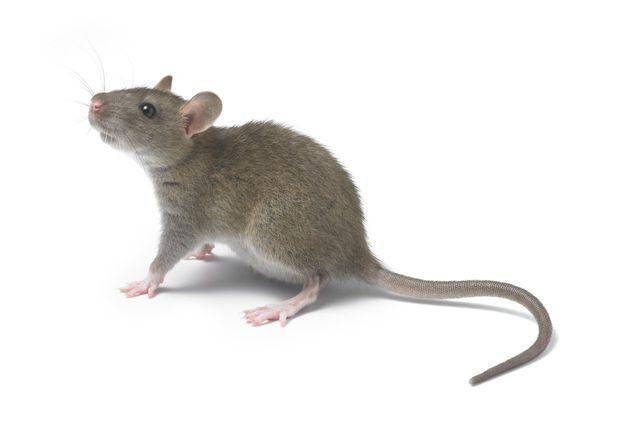 rata congelada